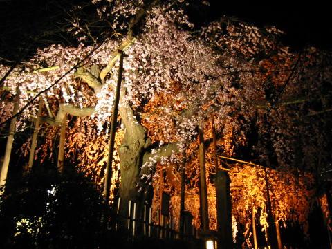 枝垂れ桜5