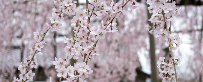 枝華桜(しだれ桜)