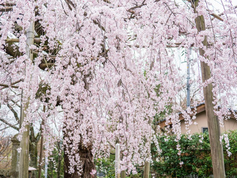 枝垂れ桜1
