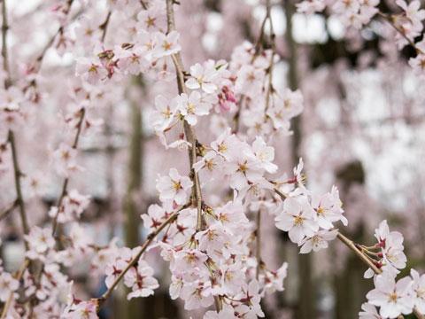枝垂れ桜2